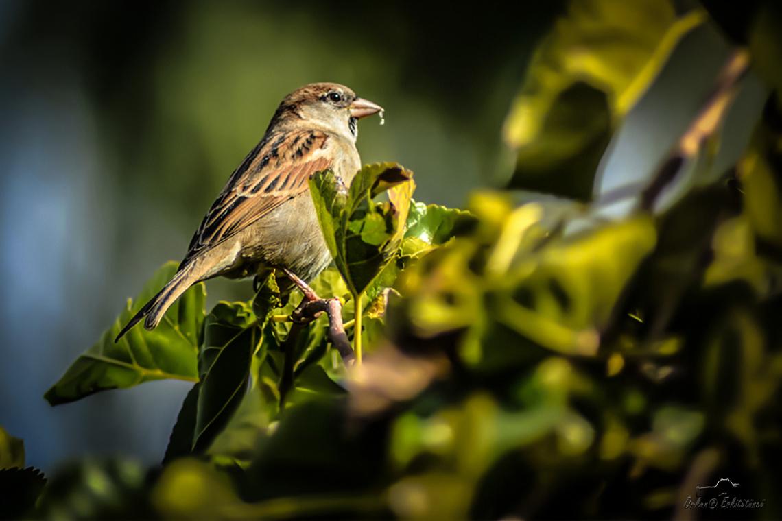 Ağaç serçesi - Eurasian Tree Sparrow