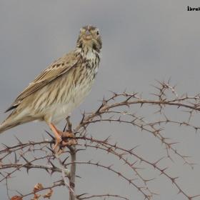 Toygar Kuşu