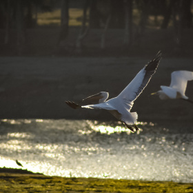 Pelican and White egret.