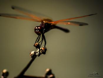 Yusufçuk - Dragonflie