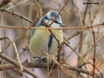 Mavi Baştankara Kuşu / SİİRT
