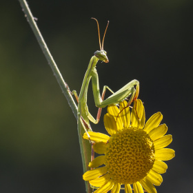 Mantis-Peygamber Devesi ve Sarı Papatya