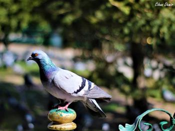 Güvercin Bokeh
