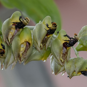 Bee and Flower (Catasetum macrocarpum)