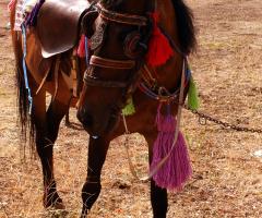 gezinti atı