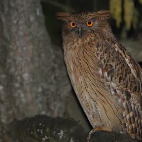 Balık baykuşu » » Brown Fish Owl