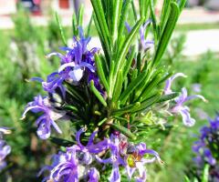 Çam Çiçekleri