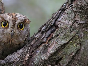 İshakkuşu » Otus scops » Eurasian Scops Owl