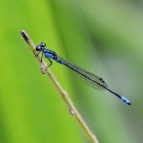 Mini Blue Dragonfly