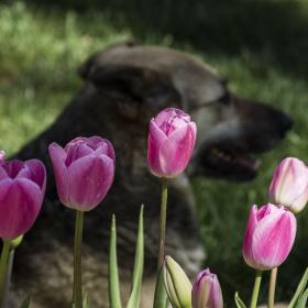 Laleler ve Köpek