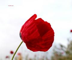 kırmızı gelinlik