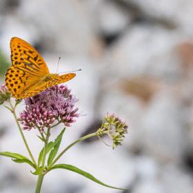 Kaplan Kelebeği