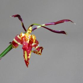 Exotic orquid