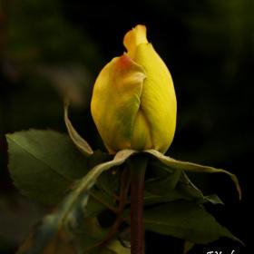 Sarı Gül . . .