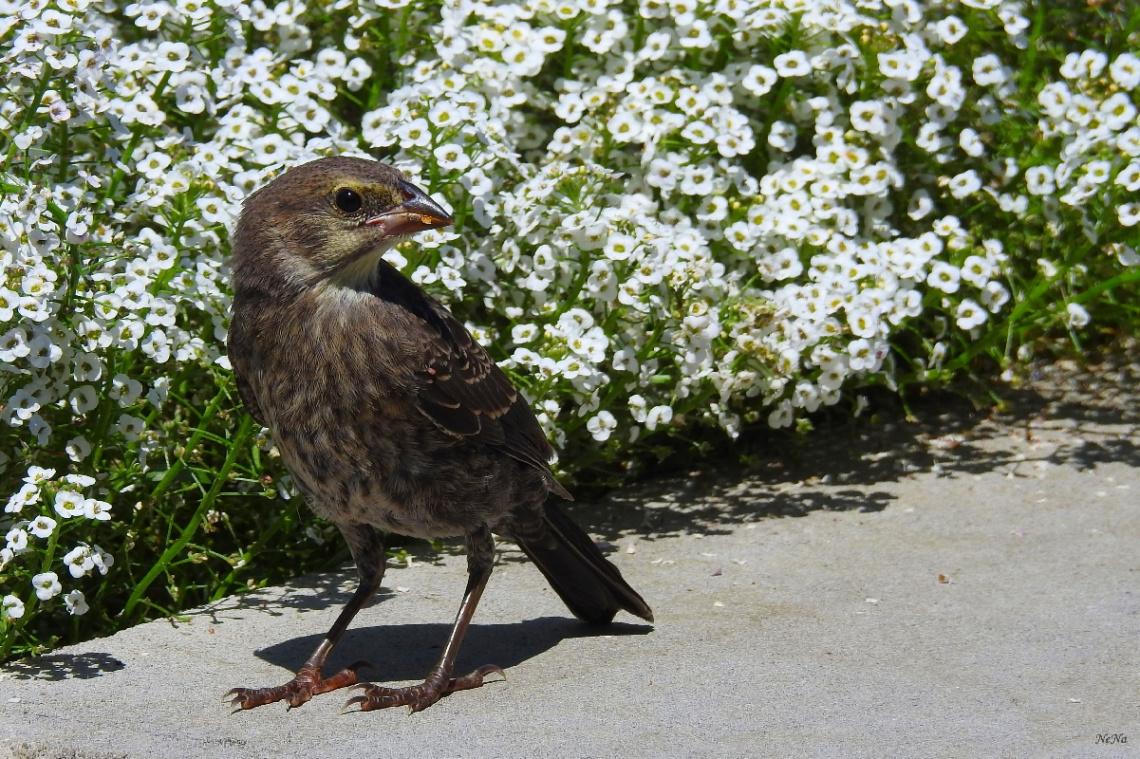 Rock sparrow