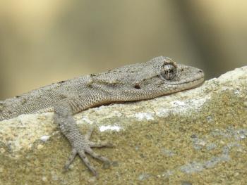 Happy gecko