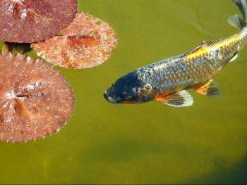 Carpa fish