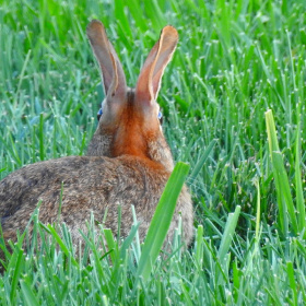 Attentive Rabbit