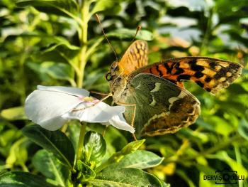 Bahar kelebeği