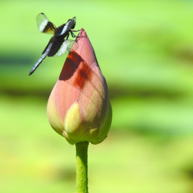 Lotus with Dragonfly