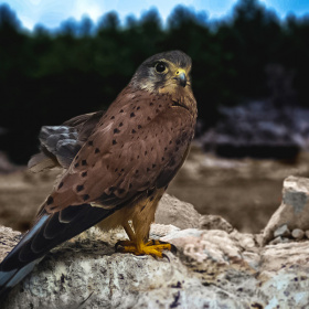 Falco naumanni - Küçük kerkenez
