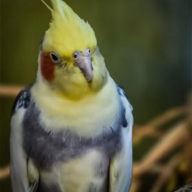 Sultan papağanı - Cockatiel