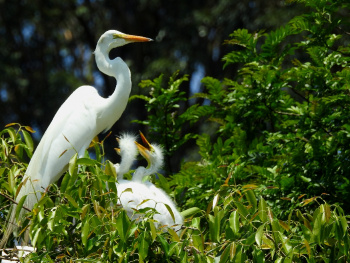 Mother egret and her baby birds