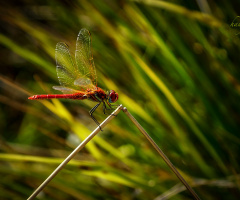 Red & Dragonfly
