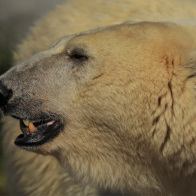 A Polar Bear Profile