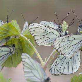 Alıç Kelebeği /  Aporia crataegi