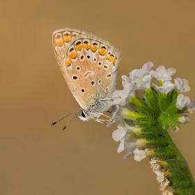 Çokgözlü Mavi / Polyomatus icarus
