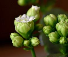 Blooming buds