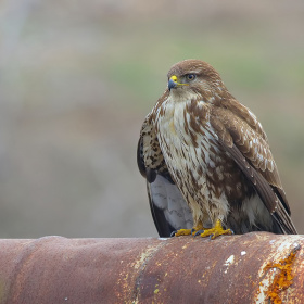 Şahin » Buteo buteo » Common Buzzard