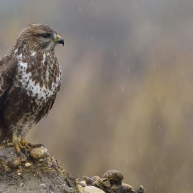 Şahin » Buteo buteo » Common buzzard