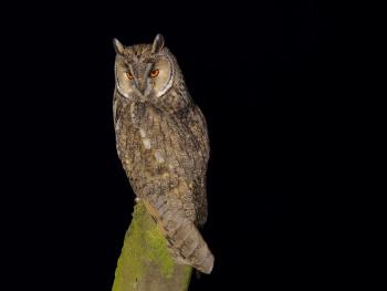 Kulaklı orman baykuşu » » Long-eared Owl