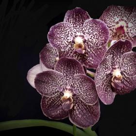 Wanda orchids