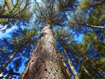 Araucária tree