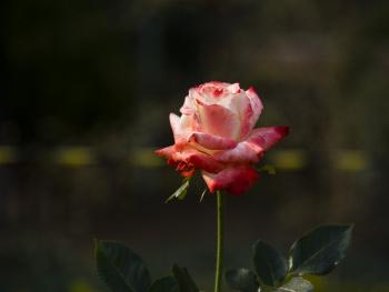 Rose Symbol of Love