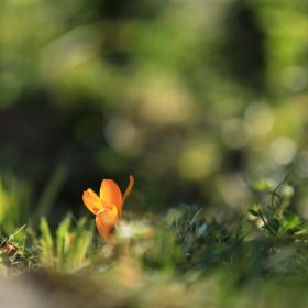 Orange crocus