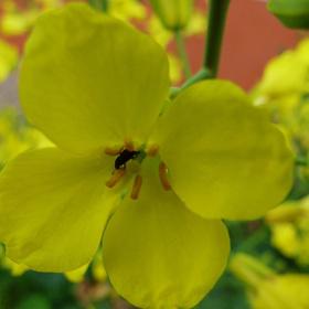 Sarı Çiçek