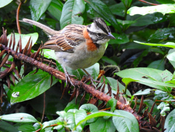 Rufous-collared Sparow