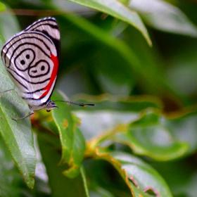 Borboleta 88 (Diaethria clymena)