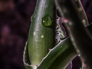 Kaktüs ve Su Damlası