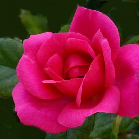 Red Rose, Red Rose
