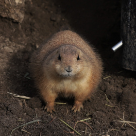 A Single Prairie Dog