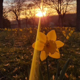 Jonquille au coucher de soleil - Daffodils at the