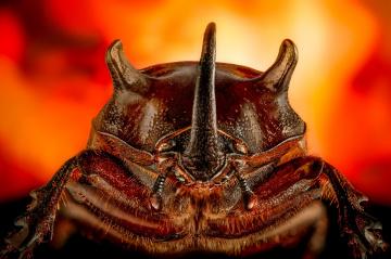Beetle on fire