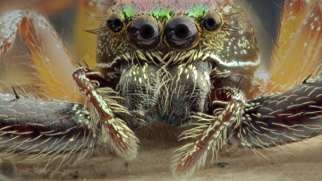 Jumping Spider's eyes