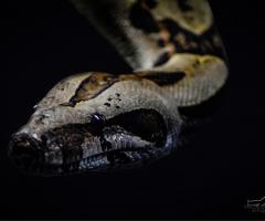 Boa Yılanı - Boa constrictor