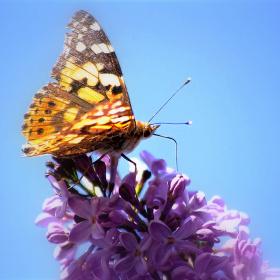 Leylak ve Kelebek